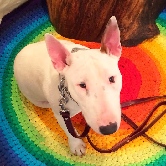 Glory the Miniature Bull Terrier