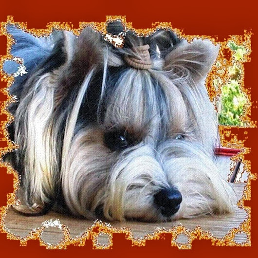 Biewer-Yorkshire-Terrier